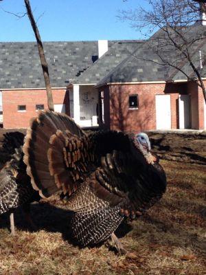 large turkey in yard